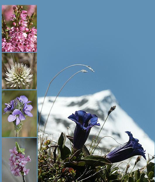 Fiori alpini/flora alpina/fiori di montagna ON-LINE - escursione virtuale, ri...
